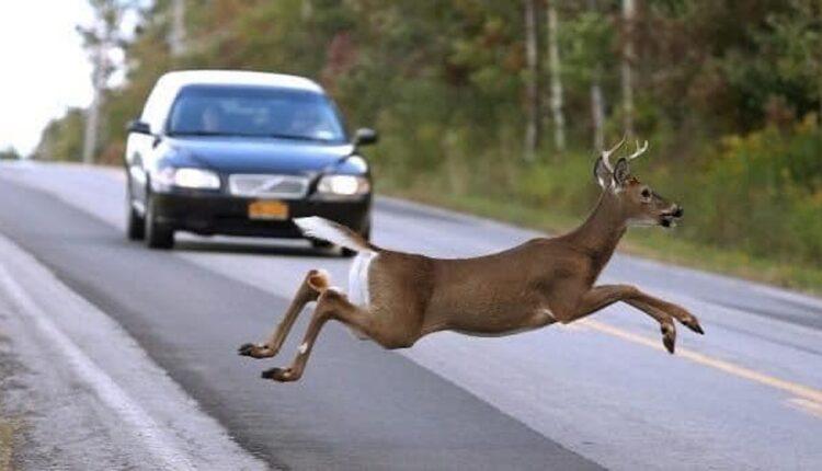 attachment-deer-in-road.jpg